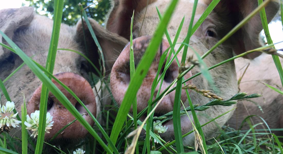 Pastured Pork | Drager Farms, Marietta PA